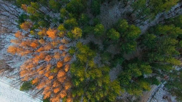 Thumbnail for Winter Pine Forest Aerial View