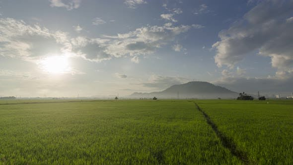 Sunshine over green paddy field