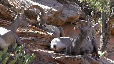Big Horn Sheep sitting in shade