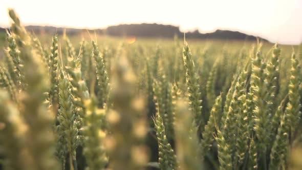 Thumbnail for Wheat Cornfield at Harvest Season