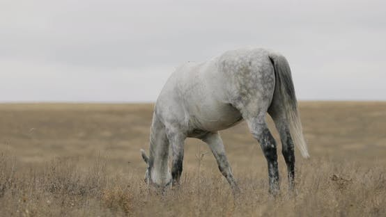 Domestic White Horse Is Grazing on the Field