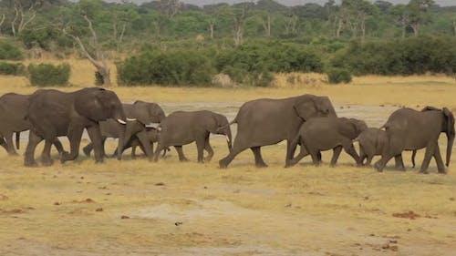 Herd of African elephants at waterhole in national park Hwankee, Botswana