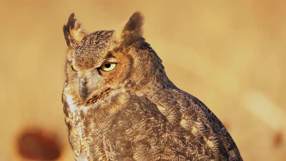 Thumbnail for Portrait of a perched Great Horned Owl
