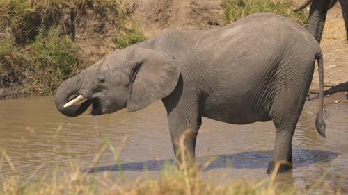 African elephant calf drinking water