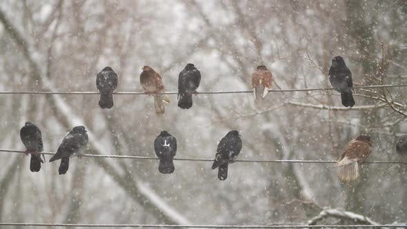 Thumbnail for Pigeons on Electricity Cable
