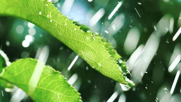 Rain Falling on Leaves