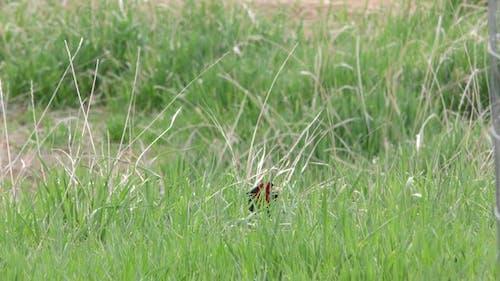 Ring-necked Pheasant Male Bird Emerging Coming Up Green Grass Hidden Hiding