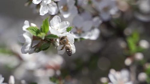 Spring with a Beautiful Blooming Cherry Garden Flowers