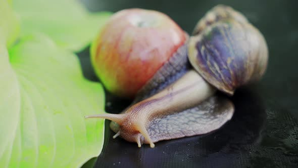 Big Brown Snail Crawls
