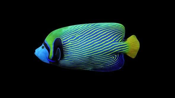 Thumbnail for Angel Fish