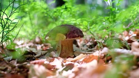 Thumbnail for White Mushroom in Summer Forest