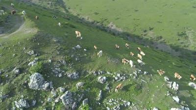 European Cows Grazing In The Mountain Meadows