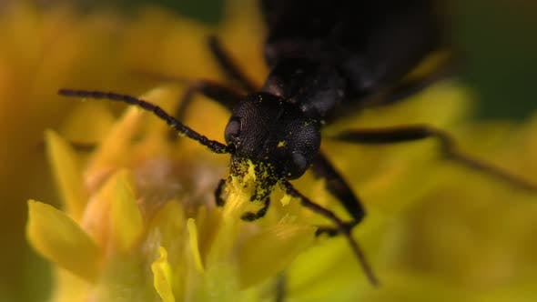 Thumbnail for Beetle Eating Feeding in Summer in South Dakota United States