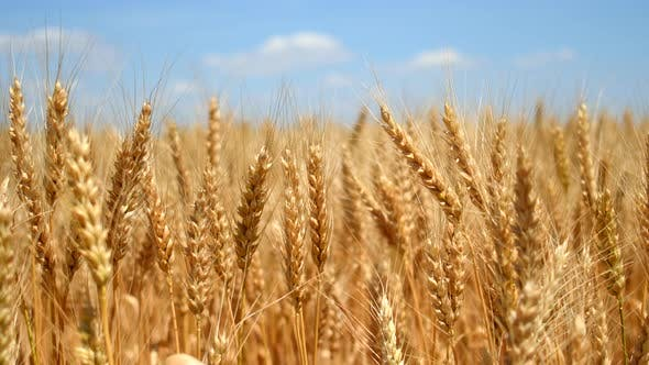 Thumbnail for Wheat Ears on Field Under Blue Sky