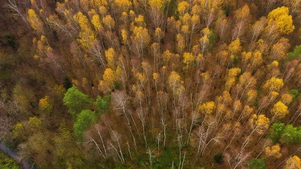 Thumbnail for Deciduous Forest, Top View. Crowns of Trees with Yellow Foliage. Flight Over the Autumn Forest.