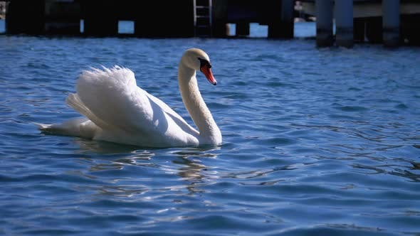 Thumbnail for Huge White Swan Swims in a Clear Mountain Lake with Crystal Clear Blue Water. Switzerland