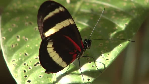 Thumbnail for Butterfly Alone in Costa Rica Central America