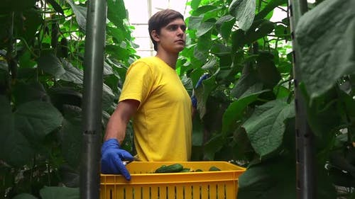 Male Worker is Moving During Harvesting in Greenhouse with Hydroponic Technology Spbd