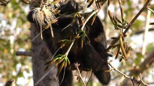 Mantler Howler Adult Immature Pair Eating Feeding Foraging Flowers Blossums