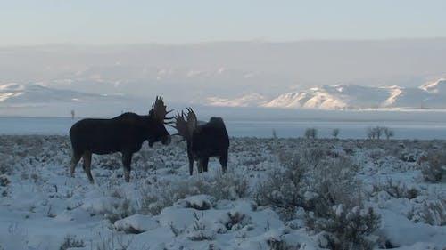 Moose Bull Adult Pair Eating Feeding in Winter Dawn Morning Pushing Antlers
