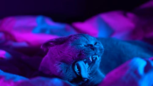 Graue pelzige gähnende Katze im Modestil