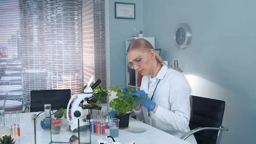 Female Research Scientist in Protective Glasses Examining Plant Leaves with Tweezers
