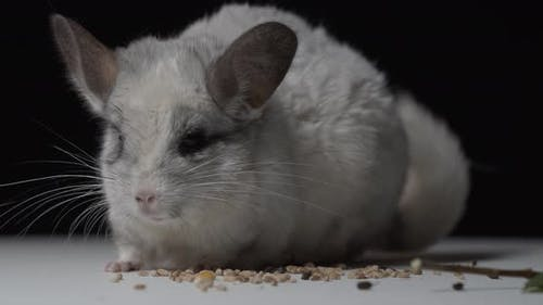 Close Up of a Cute Chinchilla with Long Whiskers Sitting on Some Grains