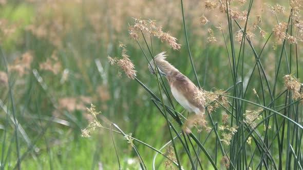 Squacco Heron at Moremi Game Reserve