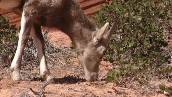 Thumbnail for Desert Bighorn Sheep Immature Lone Eating Feeding in Spring Barren Ground Foraging Dirt