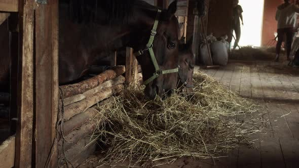 Daily Life of Stables Employees Who Serve Racehorses. Two Grooms Clean the Stables and Feed the