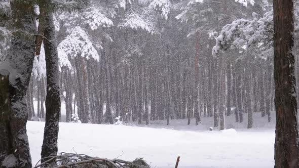 Thumbnail for Snowfall in Winter Pine Forest with Snow-covered Branches Christmas Trees