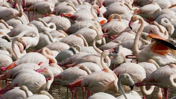 Thumbnail for Pink flamingos on the lake