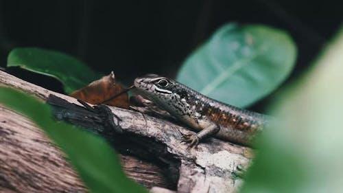 African Lizard Sits on a Log in the Rainforest Zanzibar Trachylepis Striata