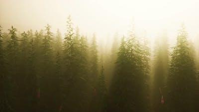 Plantation of Cannabis in Deep Fog