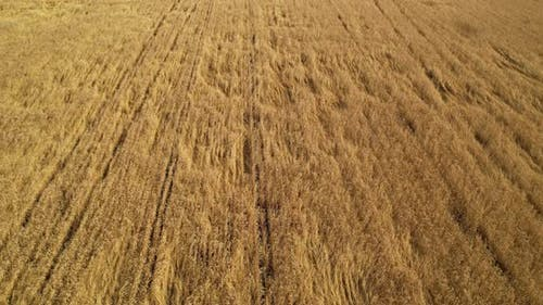 Ripe Wheat Crop. Agricultural industry.
