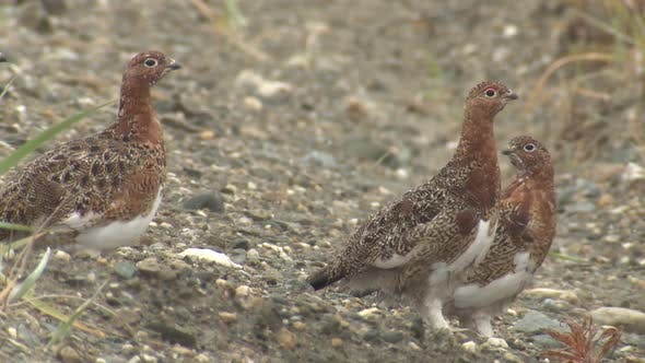 Thumbnail for Willow Ptarmigan Several Alarmed Nervous Wary in Autumn in Alaska