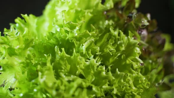 Fillie Iceburg Lettuce in Hydroponics Farm Dolly Shot