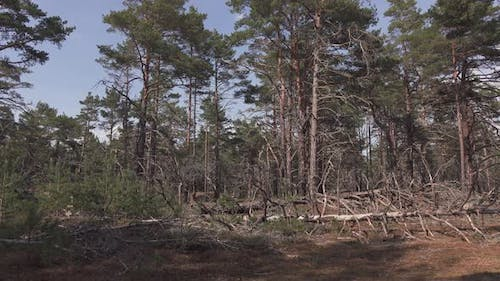 Dry Forest Before Wildfire Starts