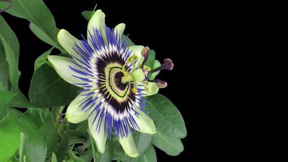 Thumbnail for Zeitraffer der Eröffnung von Passiflora mit ALPHA-Kanal