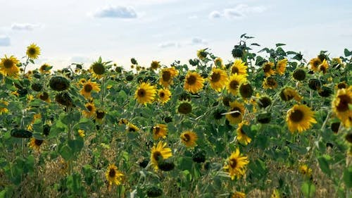 Sunflowers Fresh Harvest Field at Windy Sunny Day