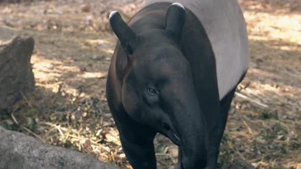 Thumbnail for Funny Black and Gray Tapir Takes Banana Pinned on Stick