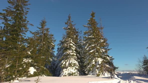 A Small Meadow on a Hillside Surrounded By Fir Trees in Winter