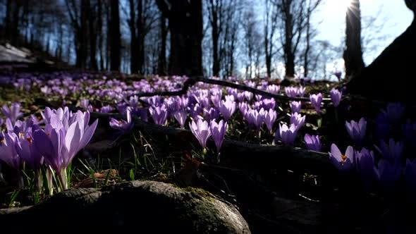 Thumbnail for Spring Nature. Crocus Flowers in the Forest