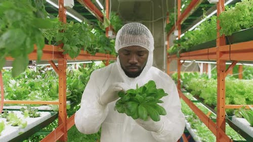 Afro Agroengineer With Spinach Seedlings In Greenhouse