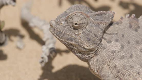 Thumbnail for Chameleon Moves Eyes