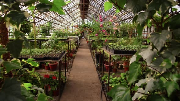 Thumbnail for Walking through Greenhouse Farm with Lots of Plants and Flowers