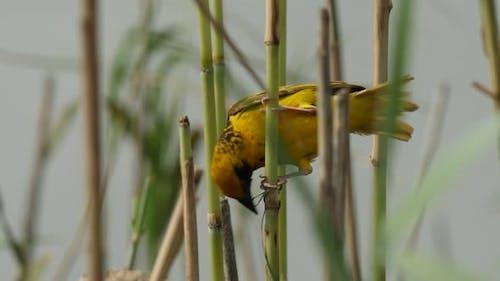 Village Weaver Bird