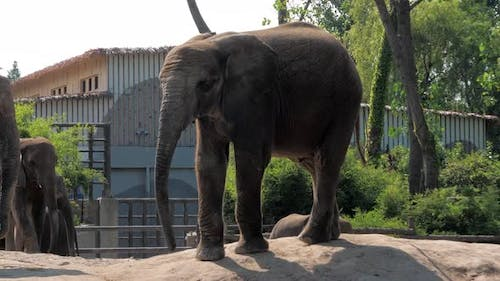 Young Elephant Walking Around in an Enclosure in the Zoo