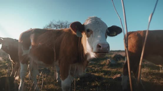 Wide shot of cow chewing grass