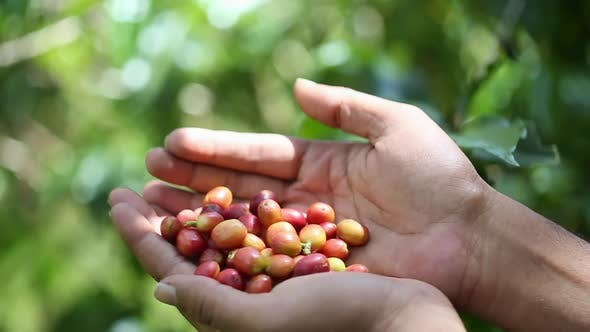 Thumbnail for Picked Ripe Coffee Berries